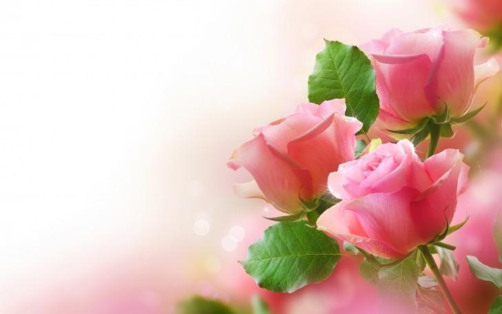 single_ pink_rose